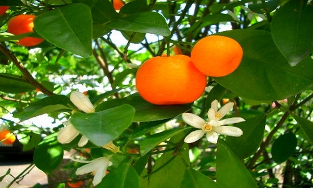 mandarinier1